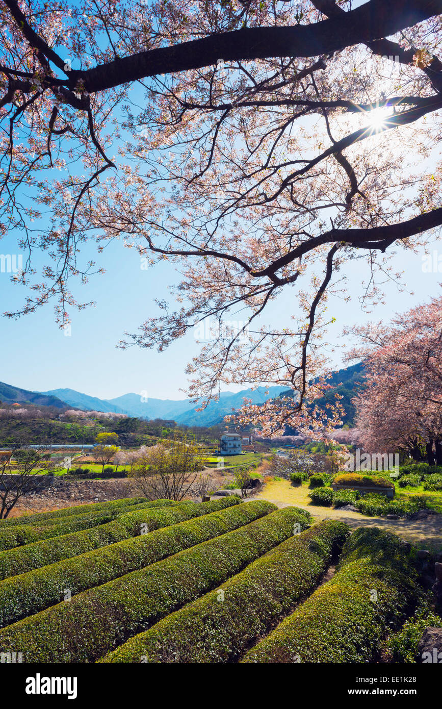 Fleur de printemps et des plantations de thé, le Parc National de Jirisan, Gyeongsangnam-do, Corée du Photo Stock