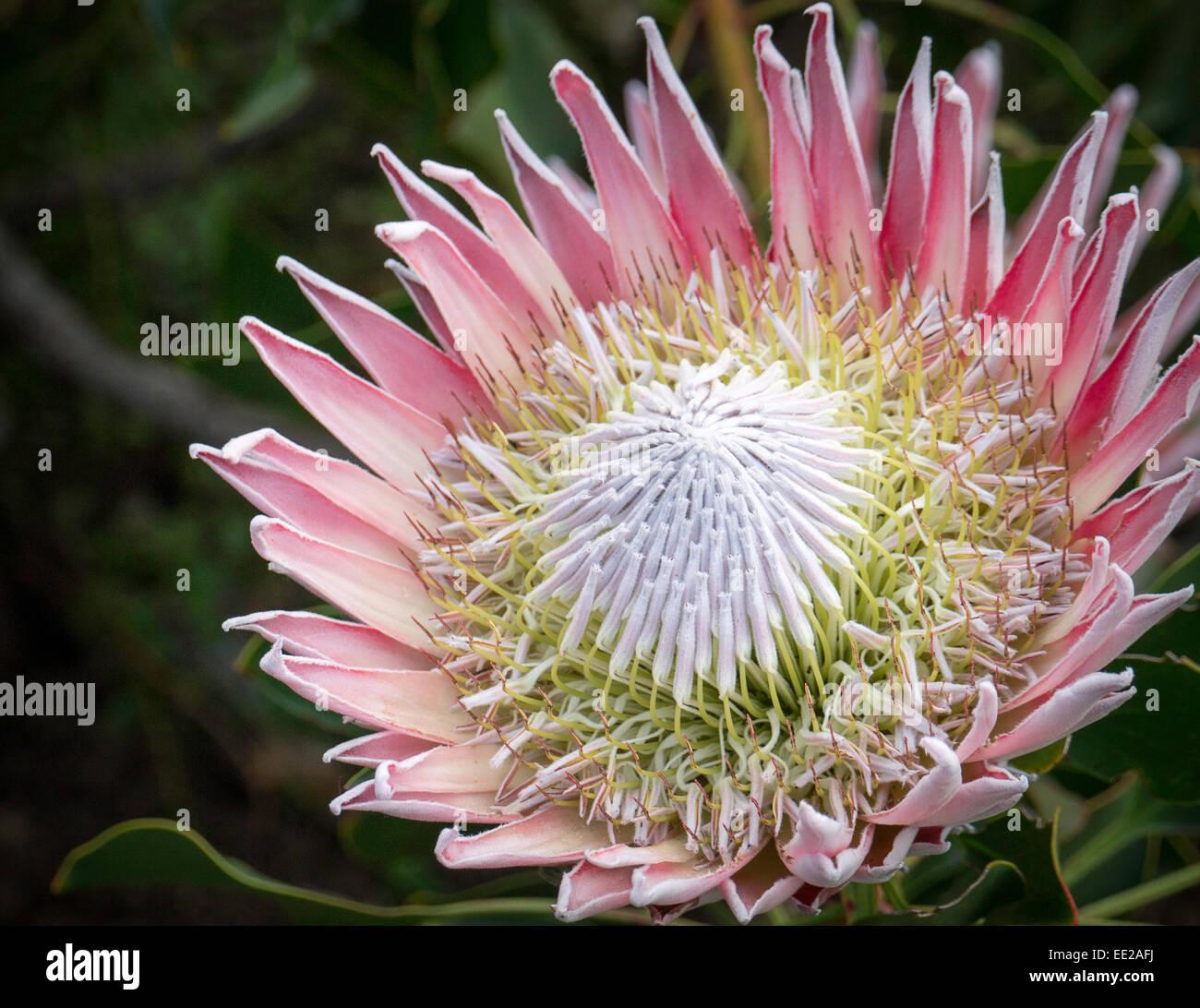 Protea Fleurs Dans Les Jardins Botaniques De Kirstenbosch Cape Town