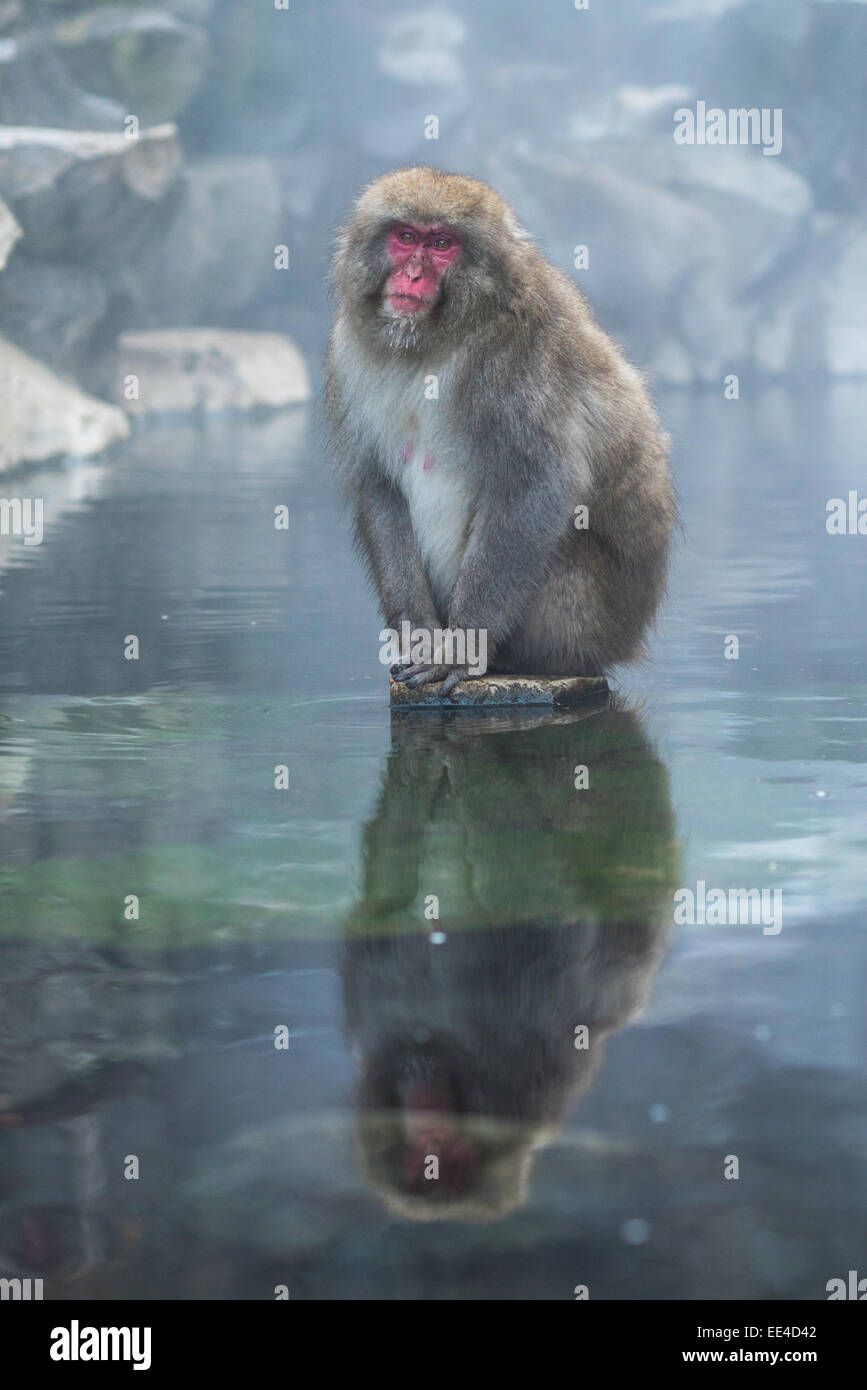 Snow monkey ou Macaque japonais Hot spring onsen Photo Stock