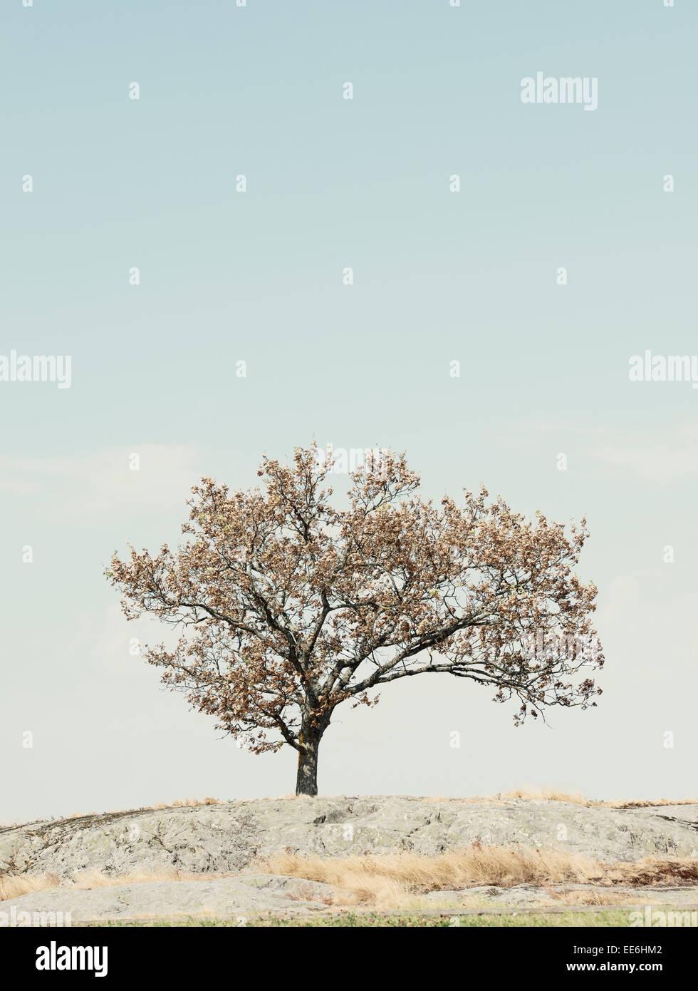 Un arbre sur la colline et ciel bleu avec copie espace. La Suède. Banque D'Images