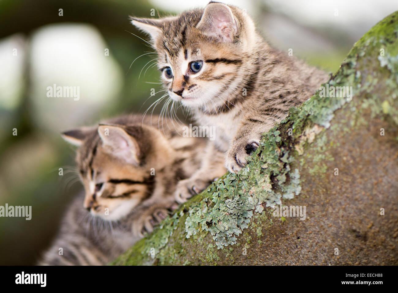 Tabby chatons jouant à l'extérieur dans un bois, UK Photo Stock