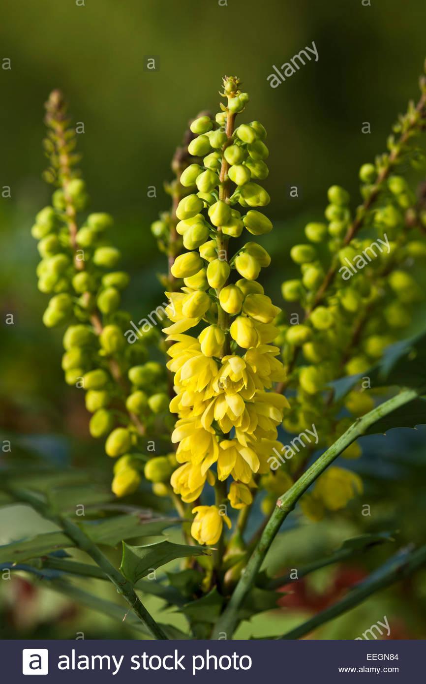 Mahonia 'Winter Sun' arbuste à fleur d'hiver parfumées parfum parfum frontière jaune Photo Stock
