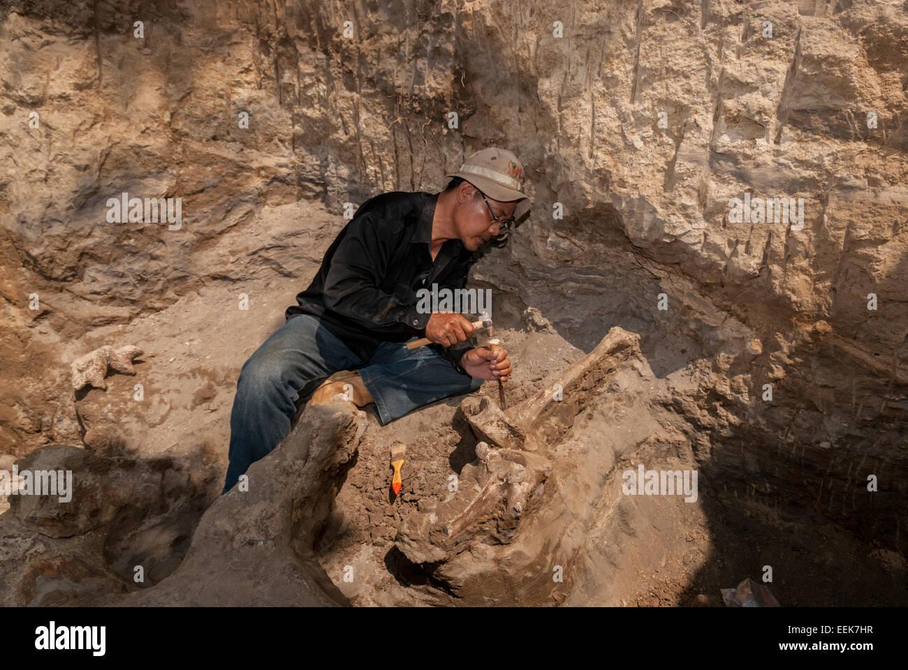 Paléontologue indonésien excavating Blora éléphant (Elephas) hysudrindicus fossiles dans le Photo Stock