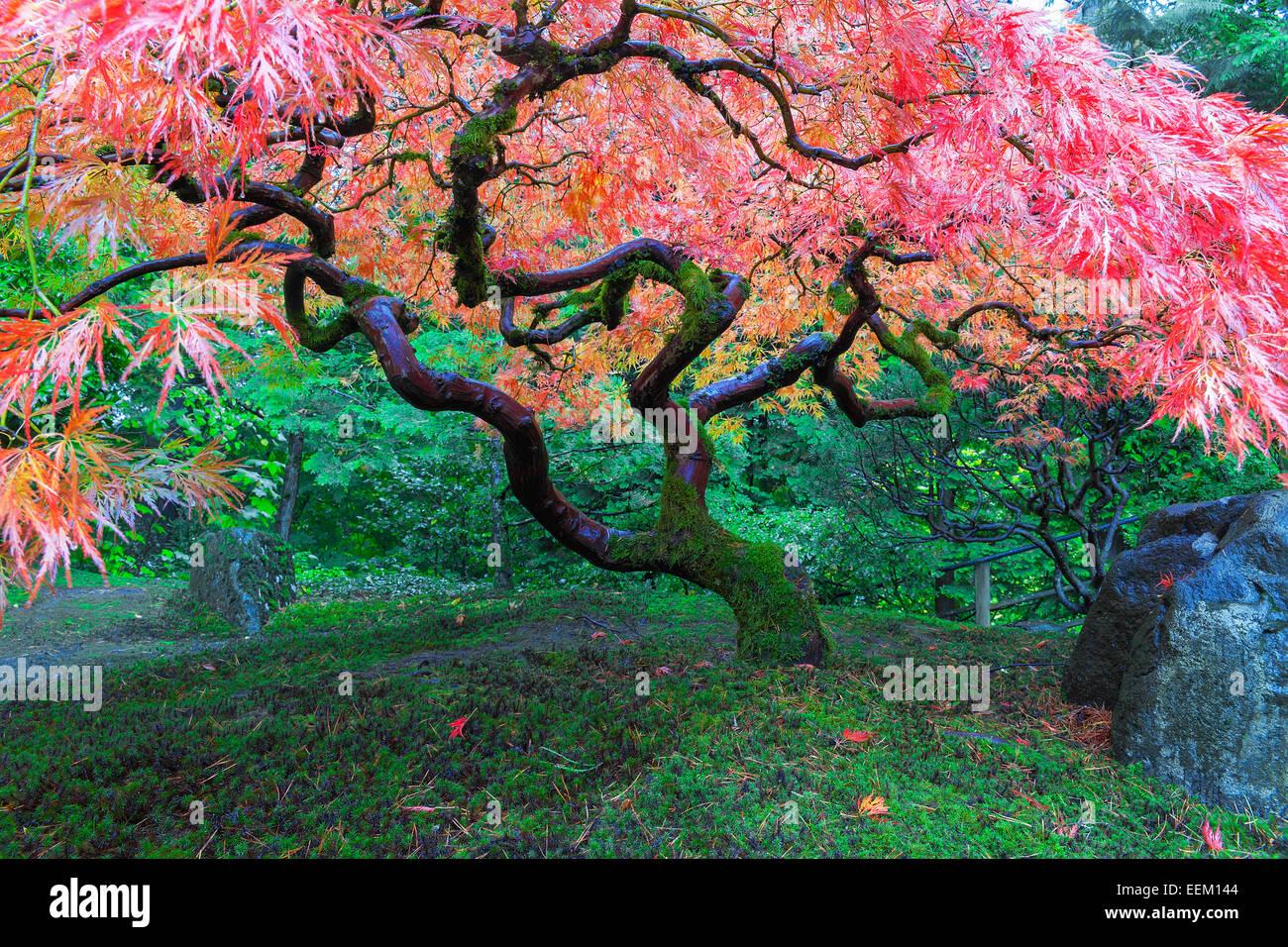 ancienne dentelle rouge Érable arbre feuilles au jardin japonais de