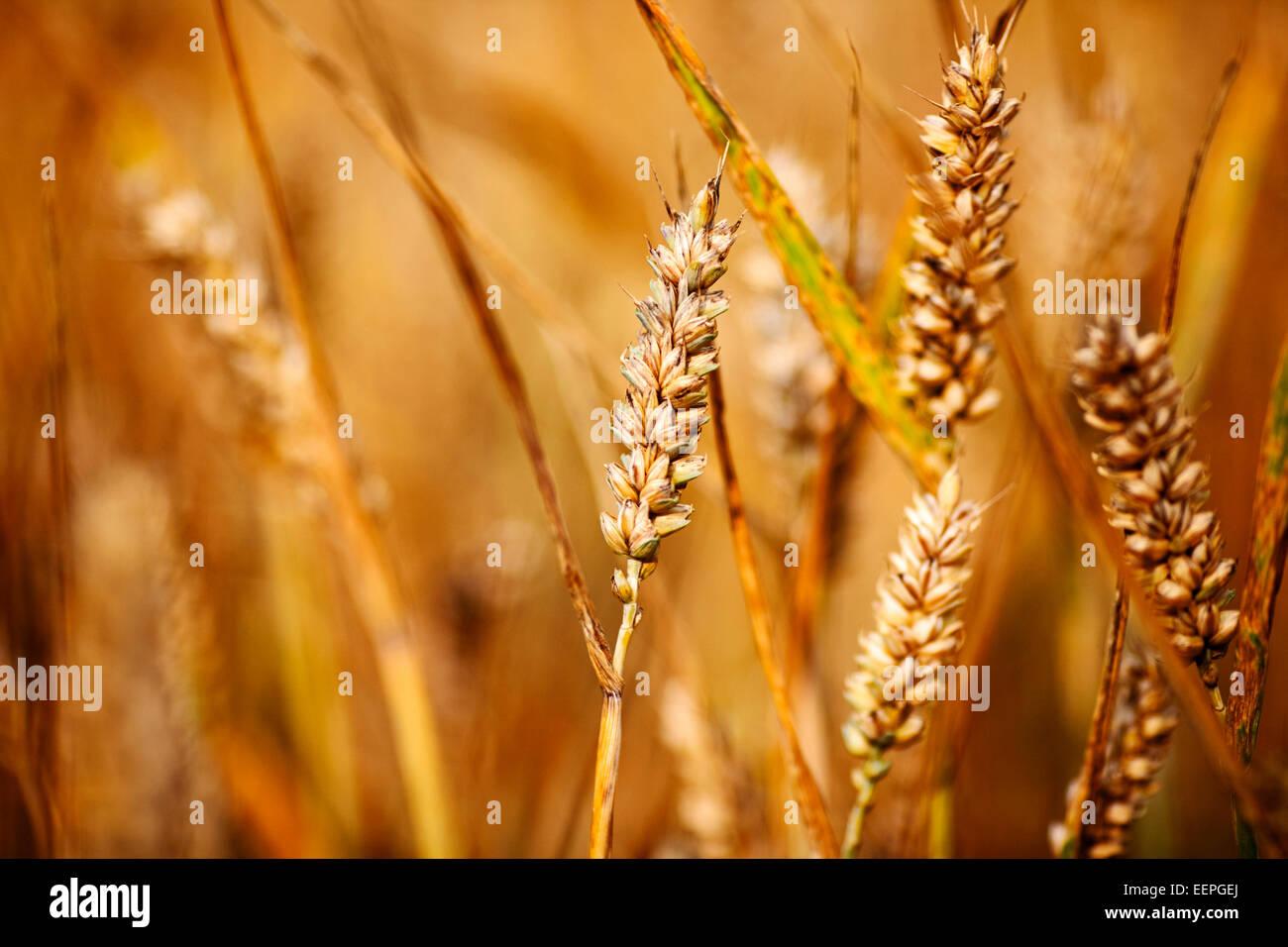 La culture du blé dans un champ Photo Stock
