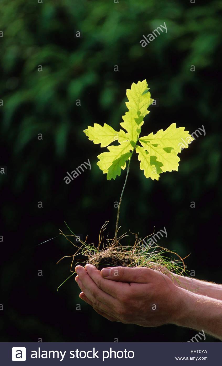 La croissance du jeune chêne. Photo Stock