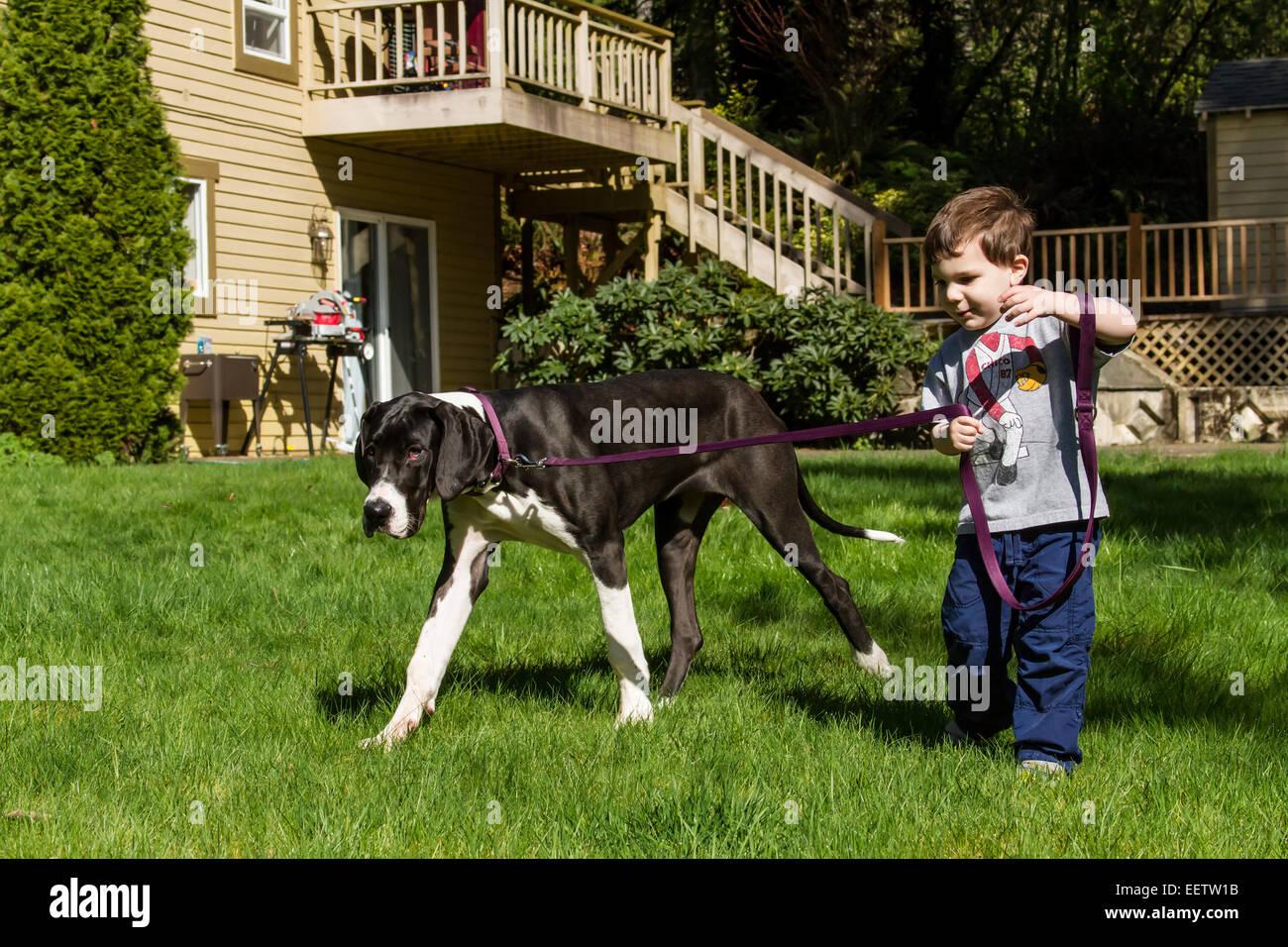 Trois ans de tenter de prendre ses six mois chiot Dogue Allemand, Athena, pour une promenade dans son arrière Photo Stock