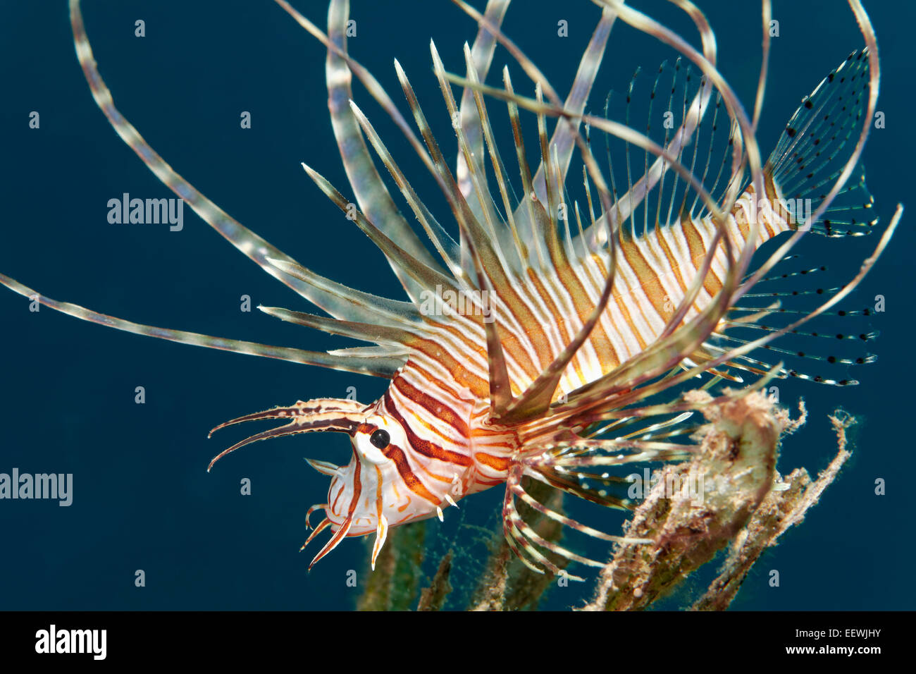 Poisson-papillon rouge (Pterois volitans), juvénile, Jordanie Photo Stock