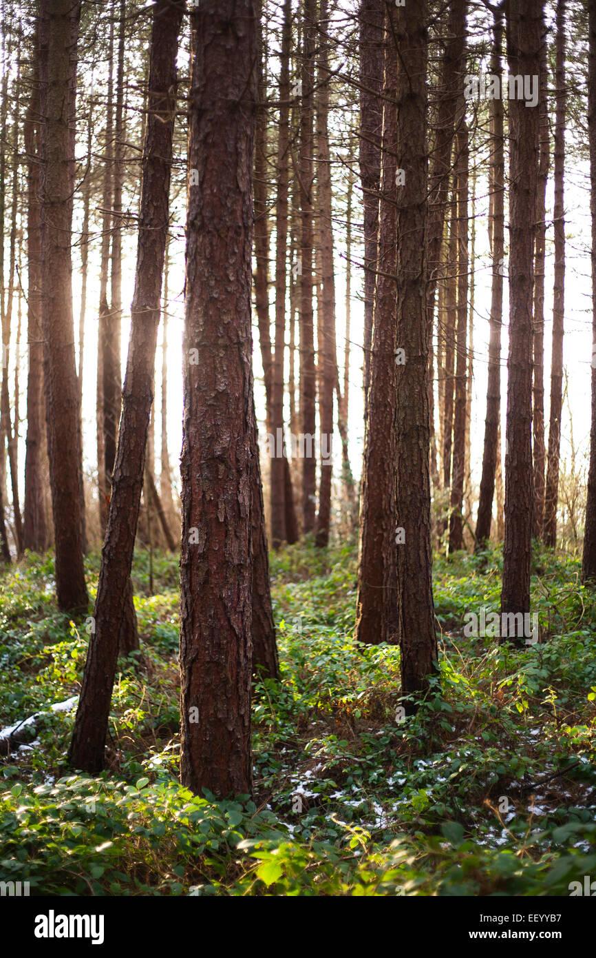 Soir du soleil brillant à travers une Commission forestière forêt de pins, dans le comté de Durham. Banque D'Images