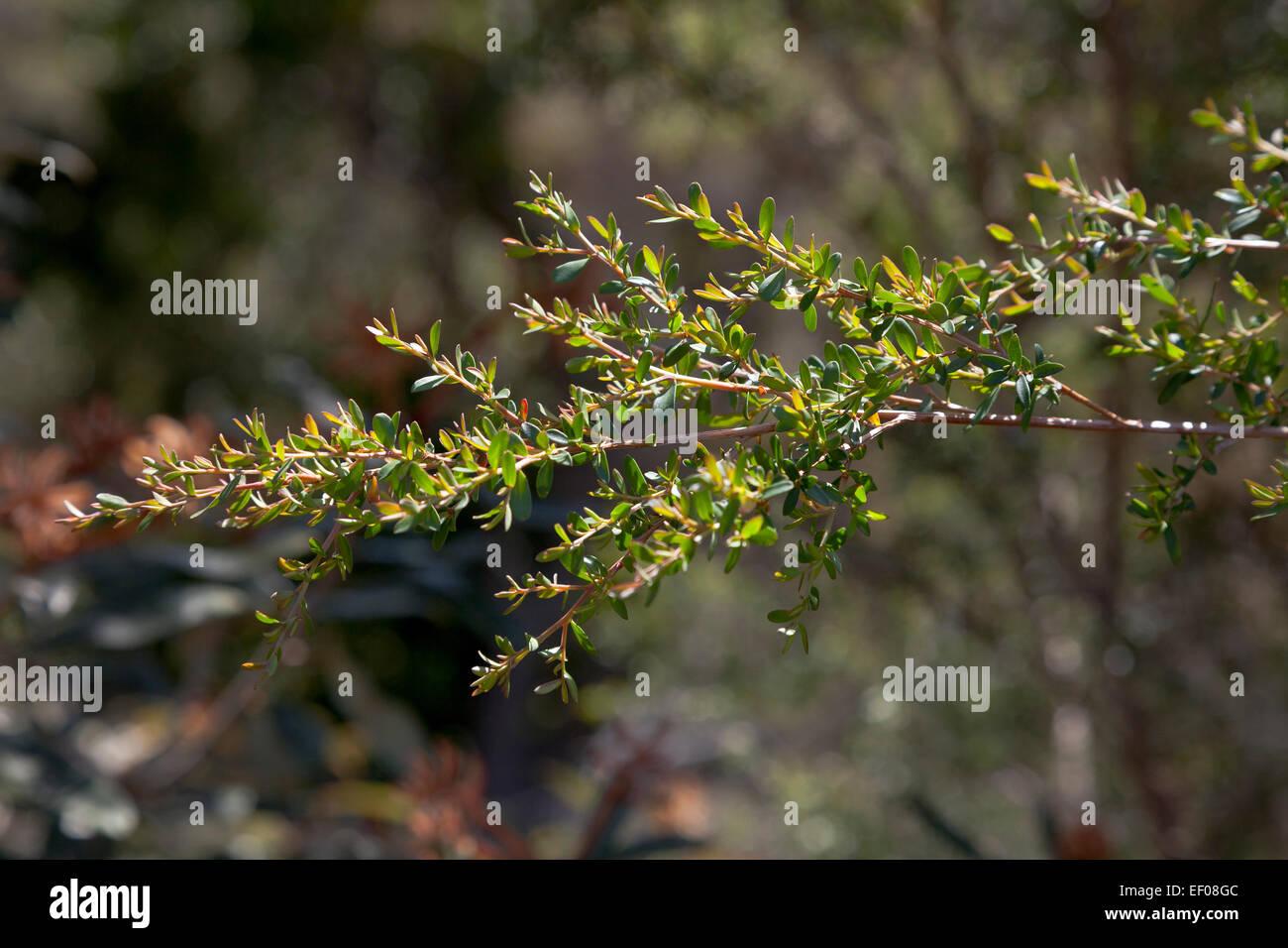Branche d'arbre à thé jaune dans le NSW, Australie Photo Stock