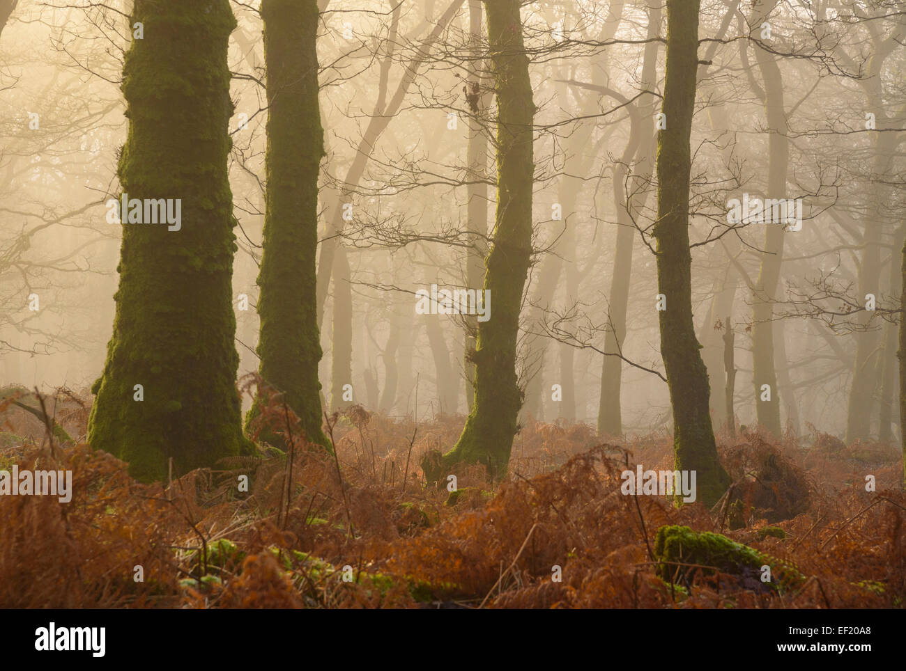 Misty woodland, Castramont (ou Carstamon) Woods, Lichfield, Dumfries et Galloway, Écosse Photo Stock
