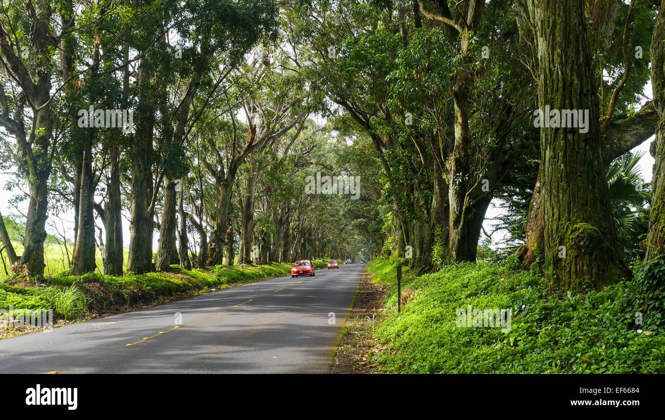 Tunnel d'arbres d'acajou, de marais, d'Eucalyptus, Poipu, Kauai, Hawaï Banque D'Images