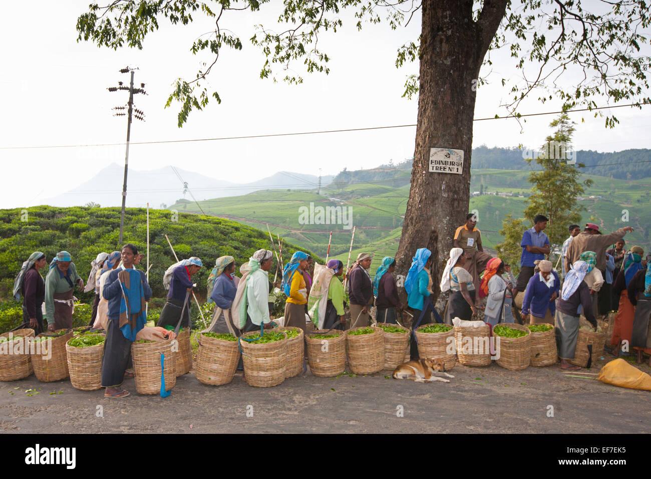 Les cueilleurs de thé s'ALIGNENT POUR PESER ET LE PAIEMENT Photo Stock