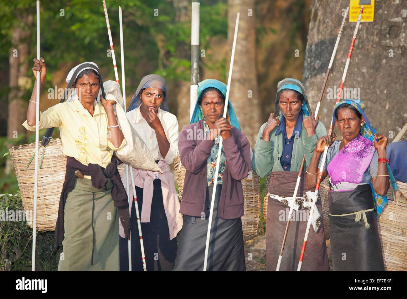 Les cueilleurs de thé du Sri Lanka Photo Stock