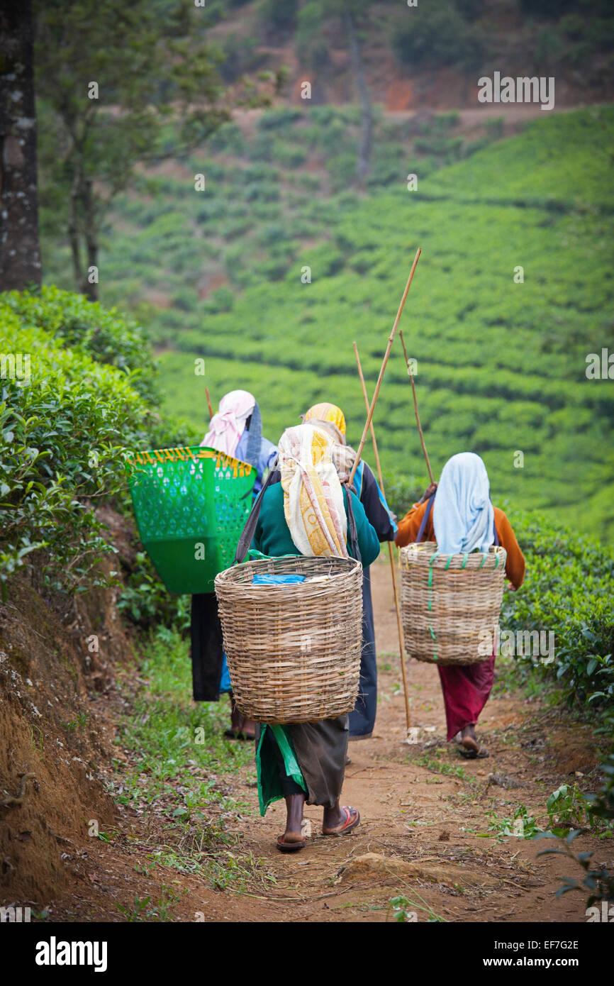 Les cueilleurs de thé AU TRAVAIL DANS LA PLANTATION DE THÉ Photo Stock
