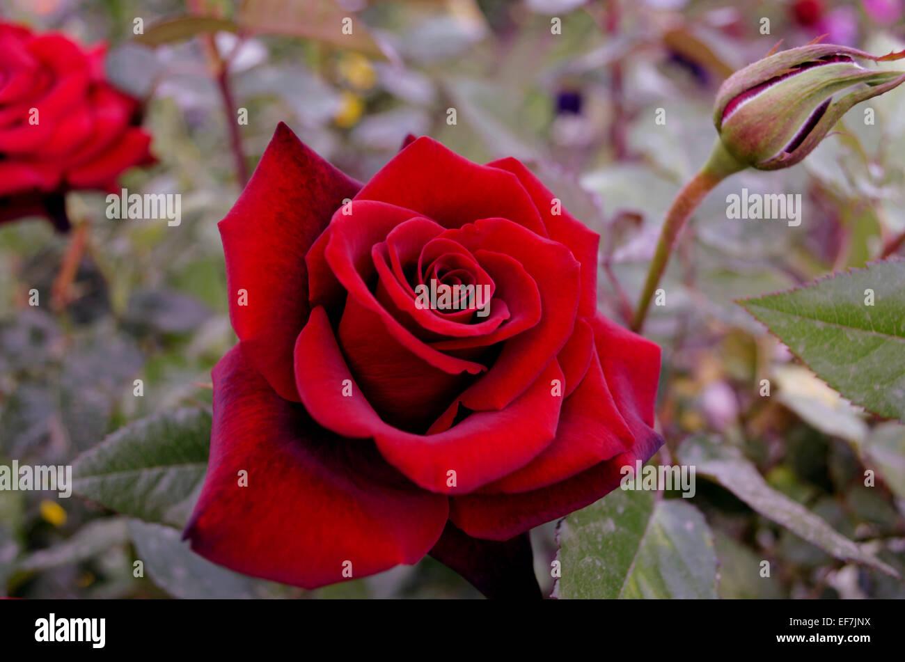 Rose rouge foncé avec des veines noires sur les pétales Photo Stock