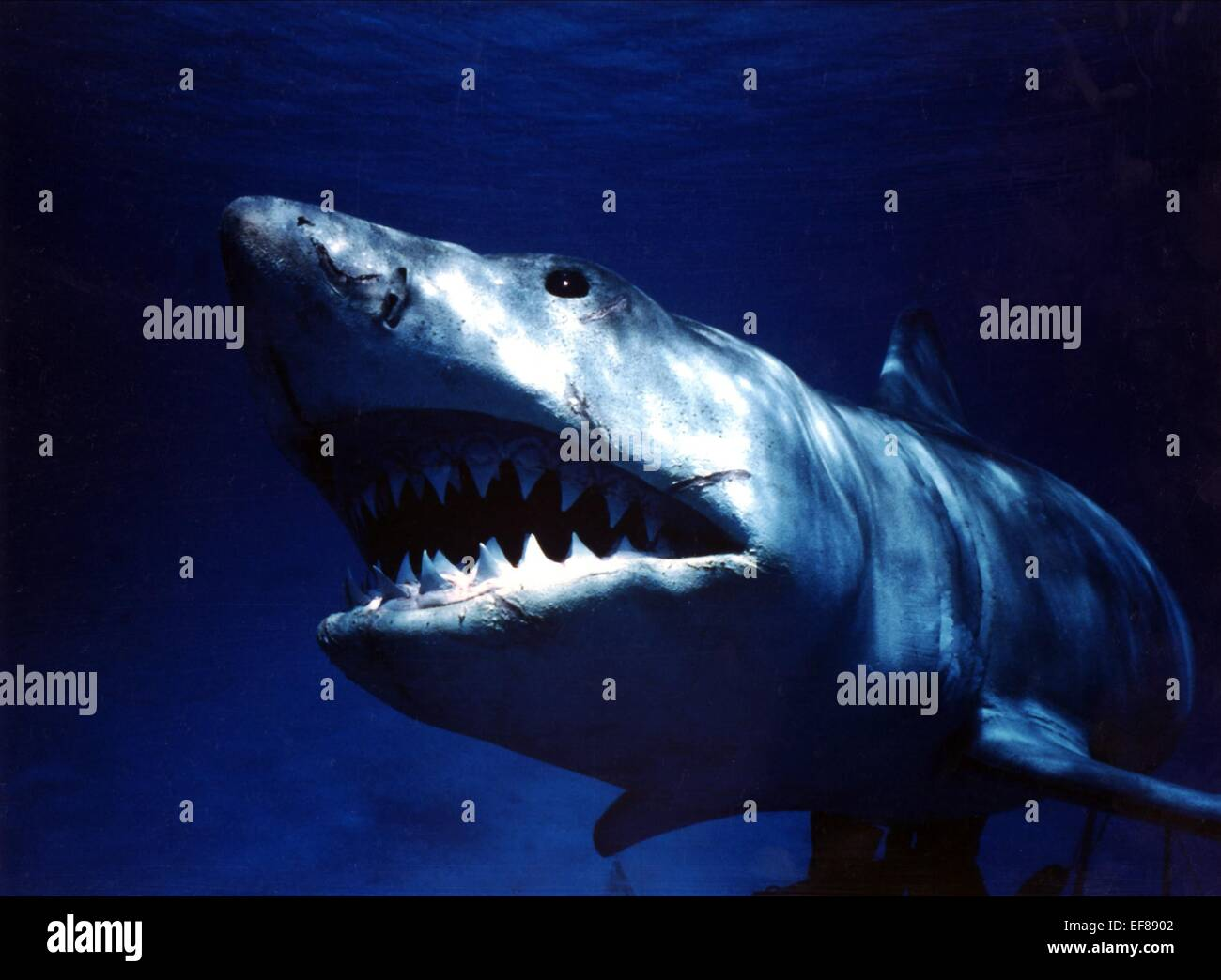 GREAT WHITE SHARK JAWS (1975) Photo Stock