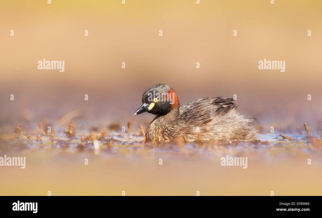 L'Australie, l'Australasian grebe natation dans des milieux humides Photo Stock