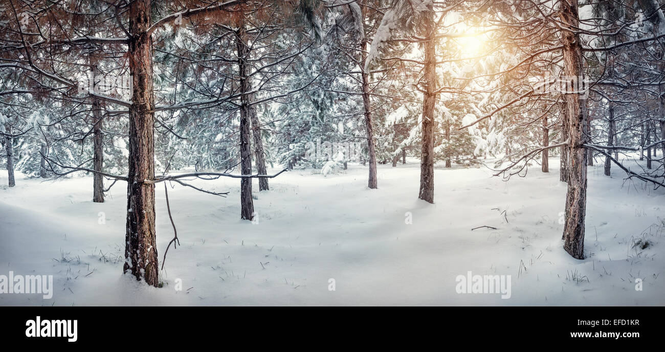 La forêt enneigée hiver panorama avec Sun Photo Stock
