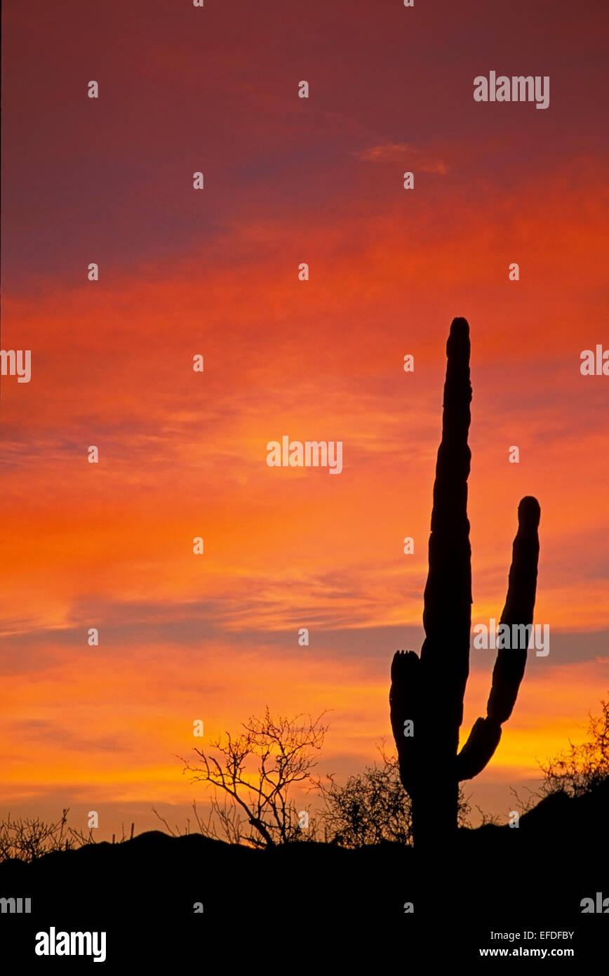 La silhouette du cactus et orange ciel, Todos Santos, Baja California Sur, Mexique Photo Stock