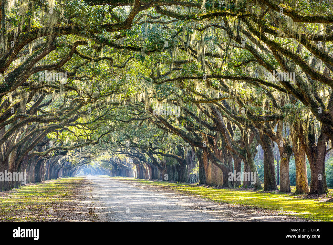 Savannah, Georgia, USA Oak tree lined road à Plantation Wormsloe historique. Photo Stock