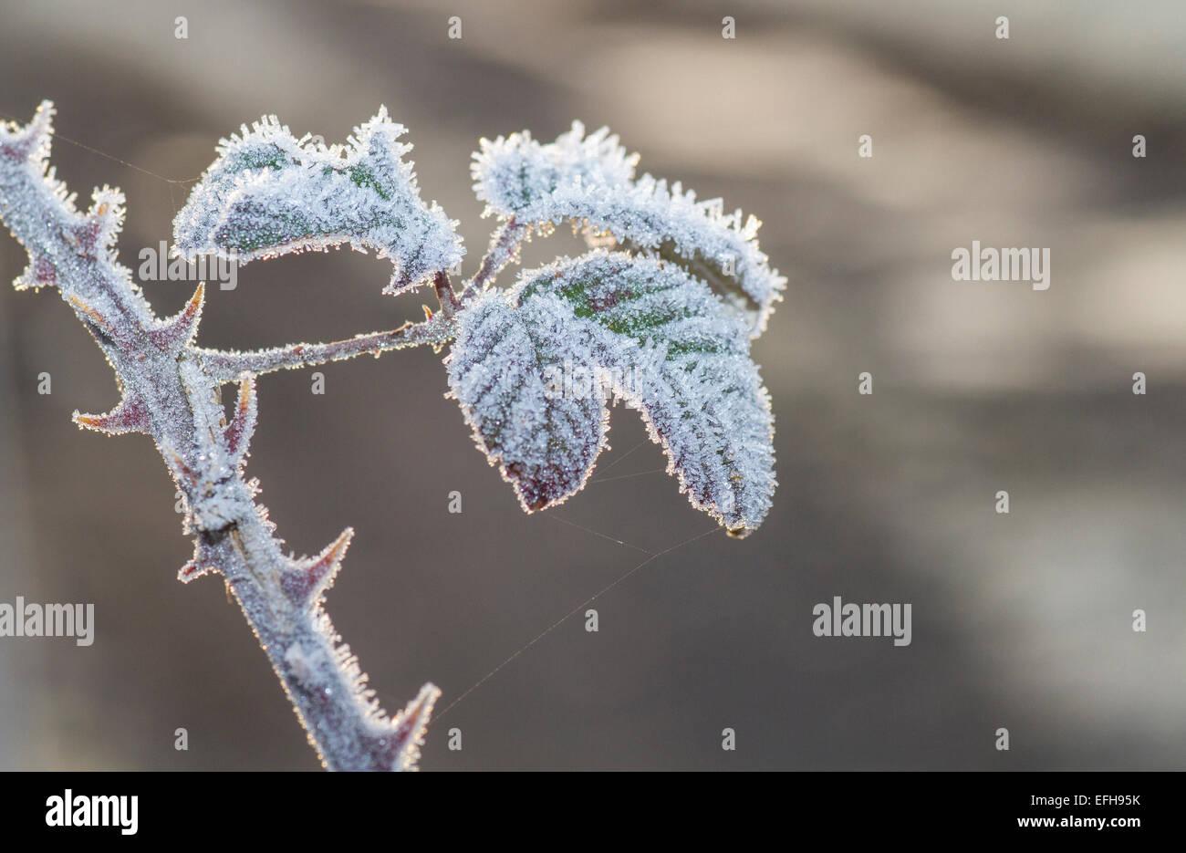 Frosty matin soleil sur la tige et des feuilles épineuses avec araignée Photo Stock