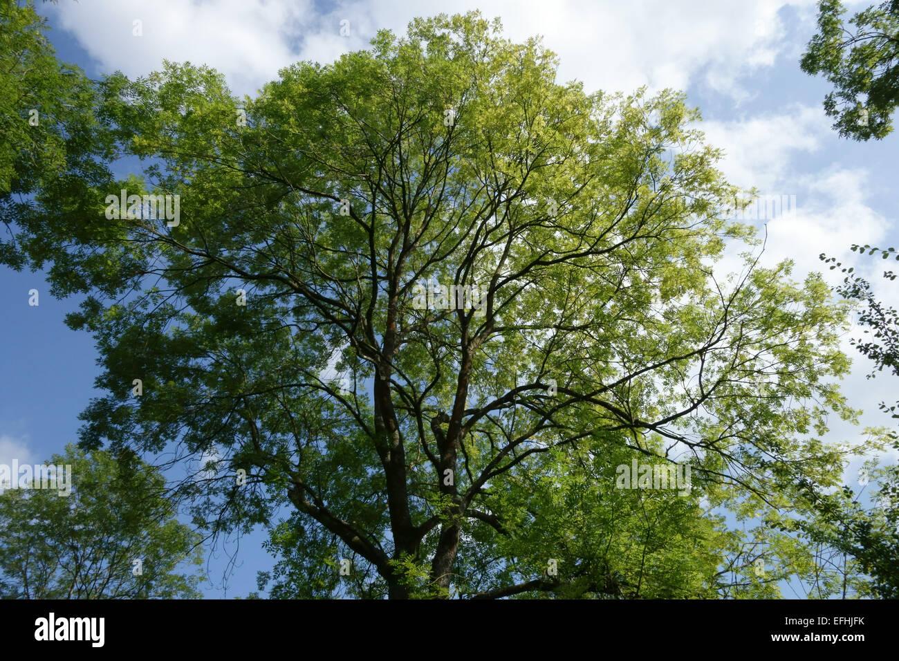Un frêne mature, Fraxinus excelsior, feuillu, Berkshire, Août Photo Stock