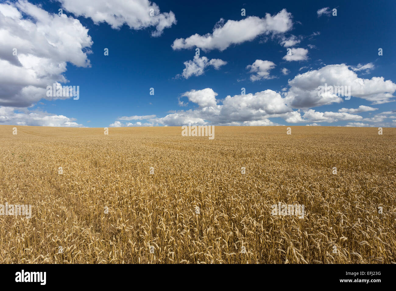 Champ de blé, ferme, Ickleford Cadwell, Hitchin, Herts, Angleterre, Royaume-Uni Photo Stock