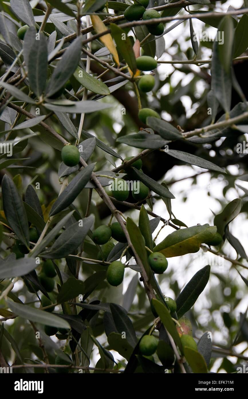 Il Cultive L Olivier fruit de l'olivier (olea europaea). il est également appelé