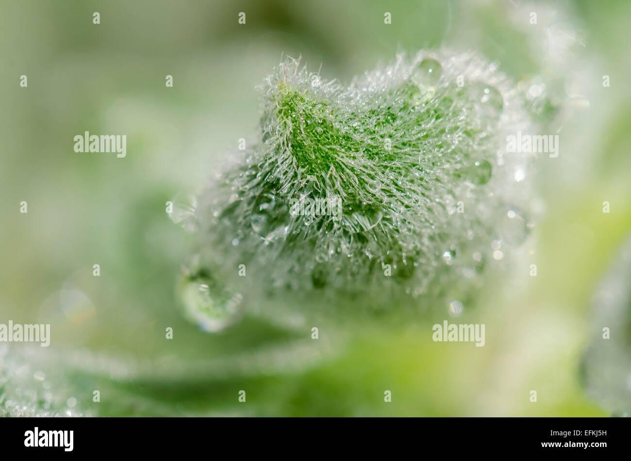 Plante grasse et gouttes d'eau en gros macro plans Photo Stock