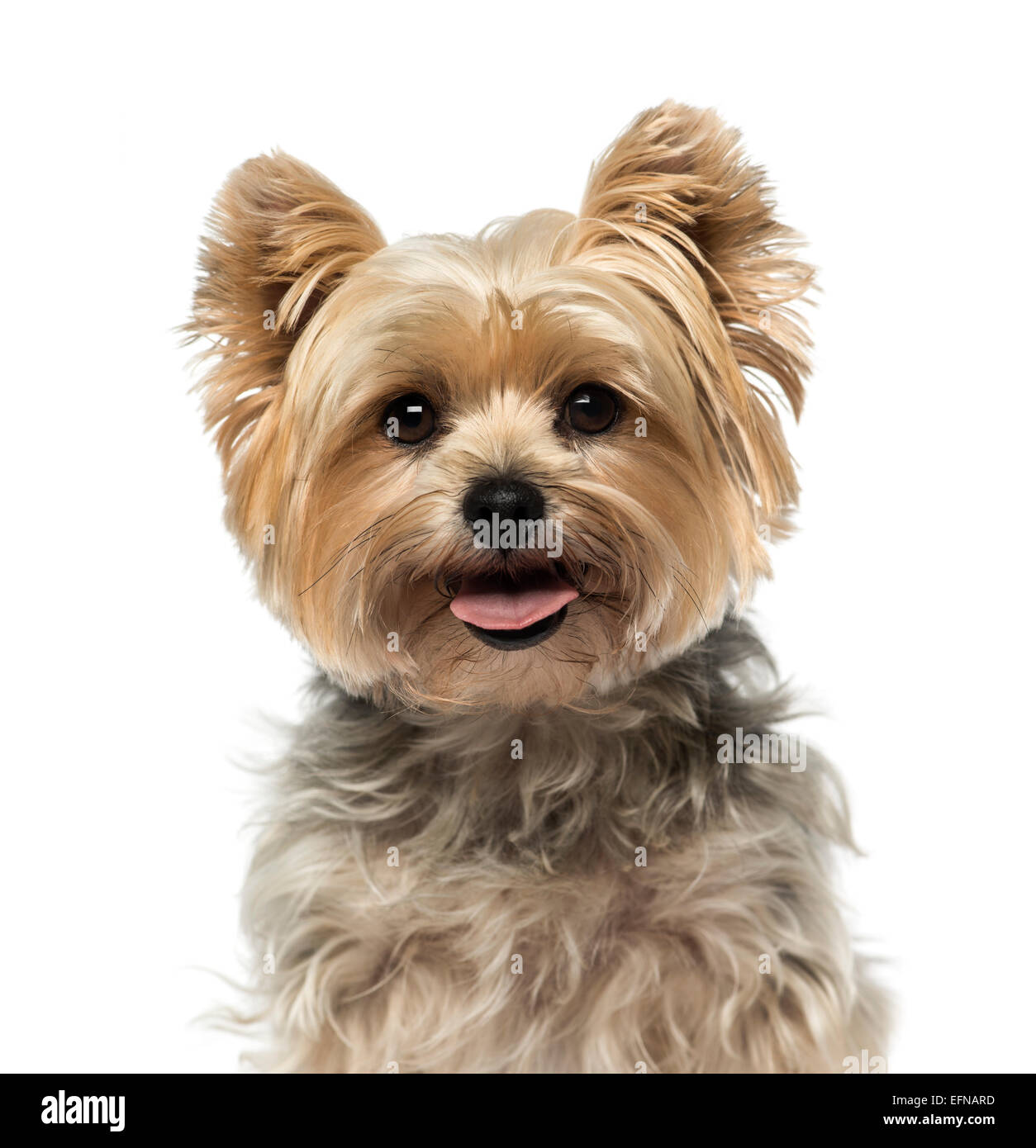 Yorkshire Terrier (4 ans) contre fond blanc Photo Stock