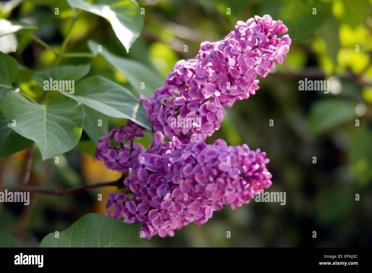 flieder, buddleja, blueten, sommerflieder, pflanze, strauch, bluehen