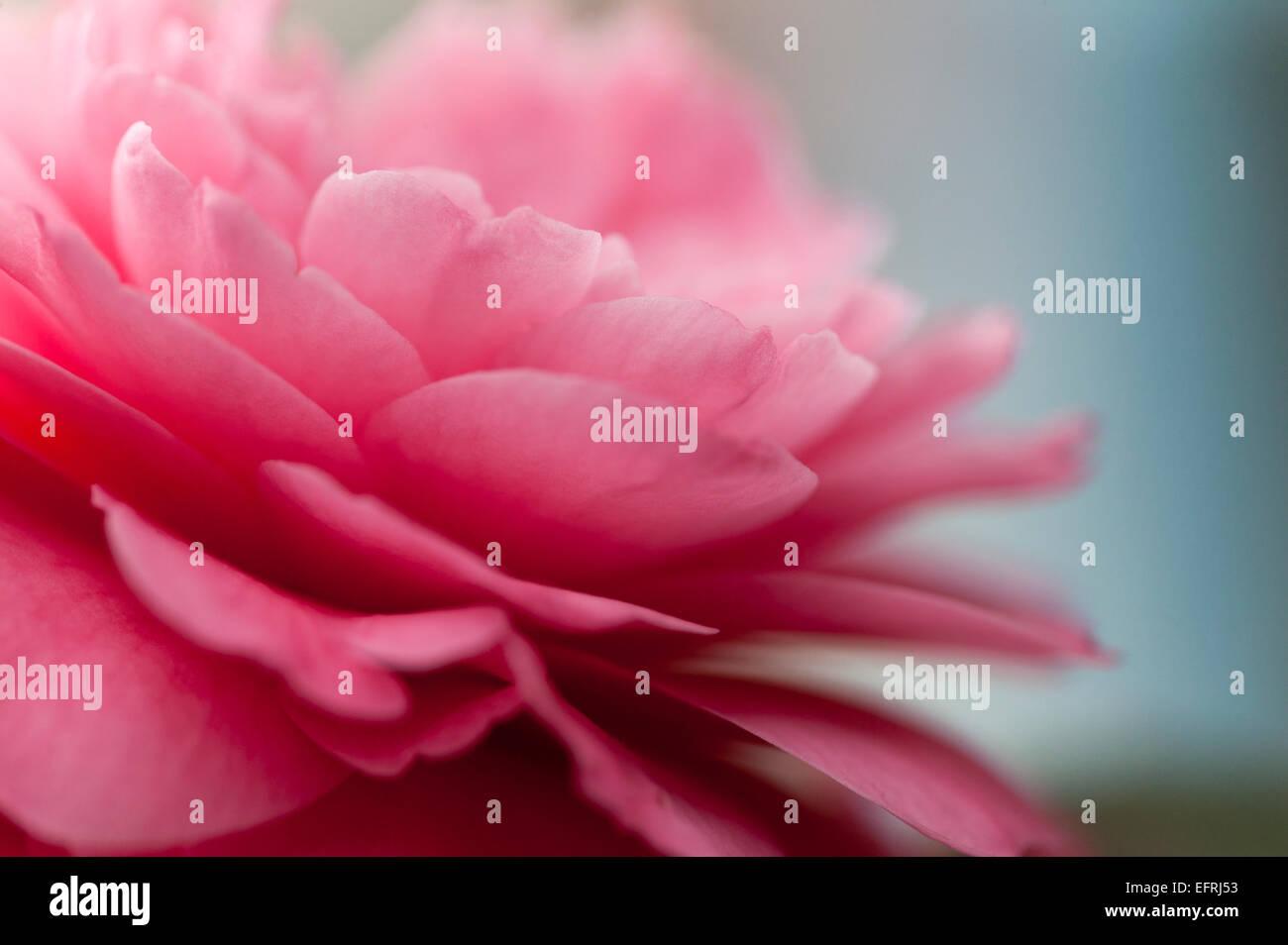 Camellia rose pétale de Photo Stock