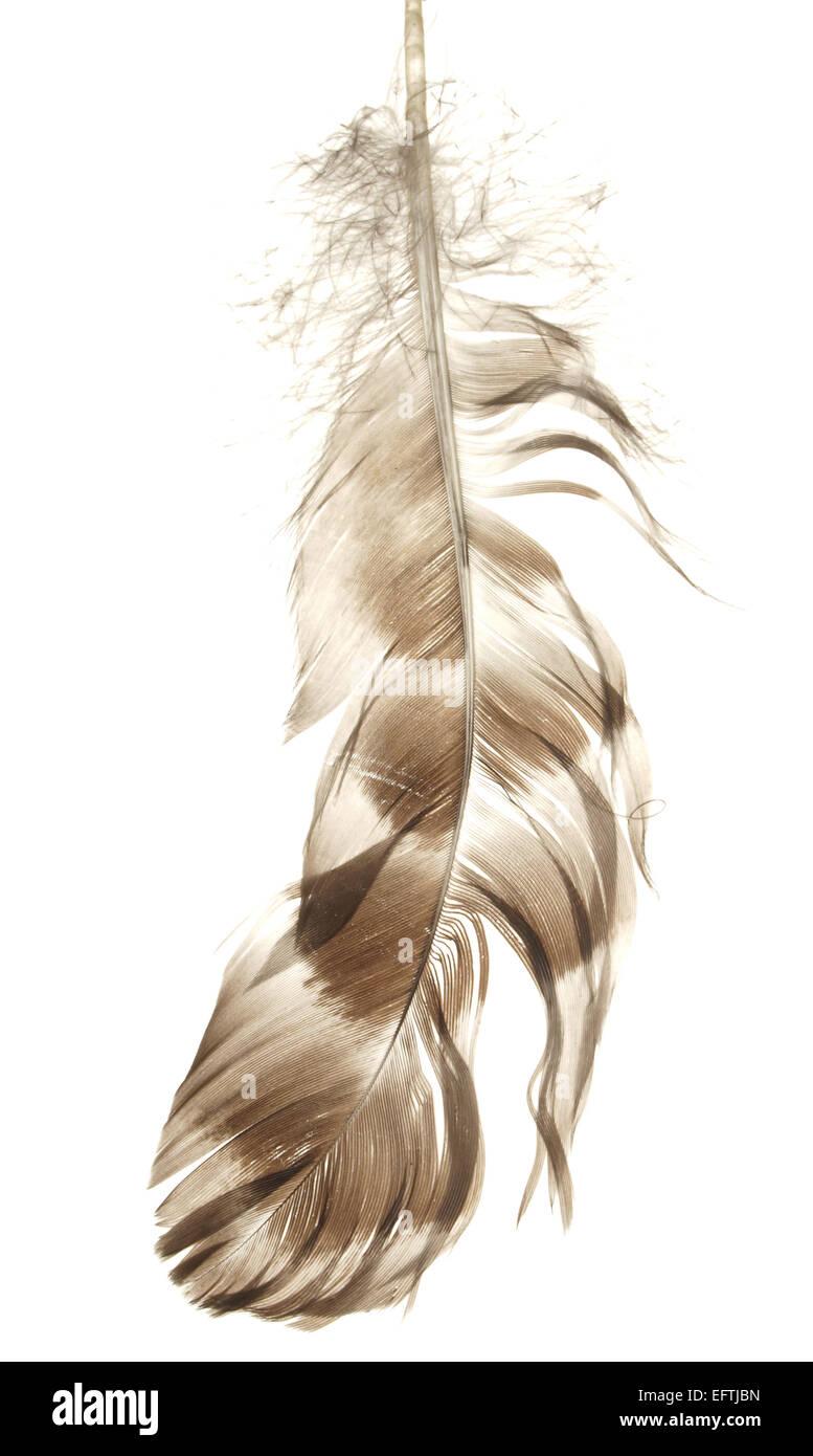 Plume d'oiseau isolé sur fond blanc Photo Stock