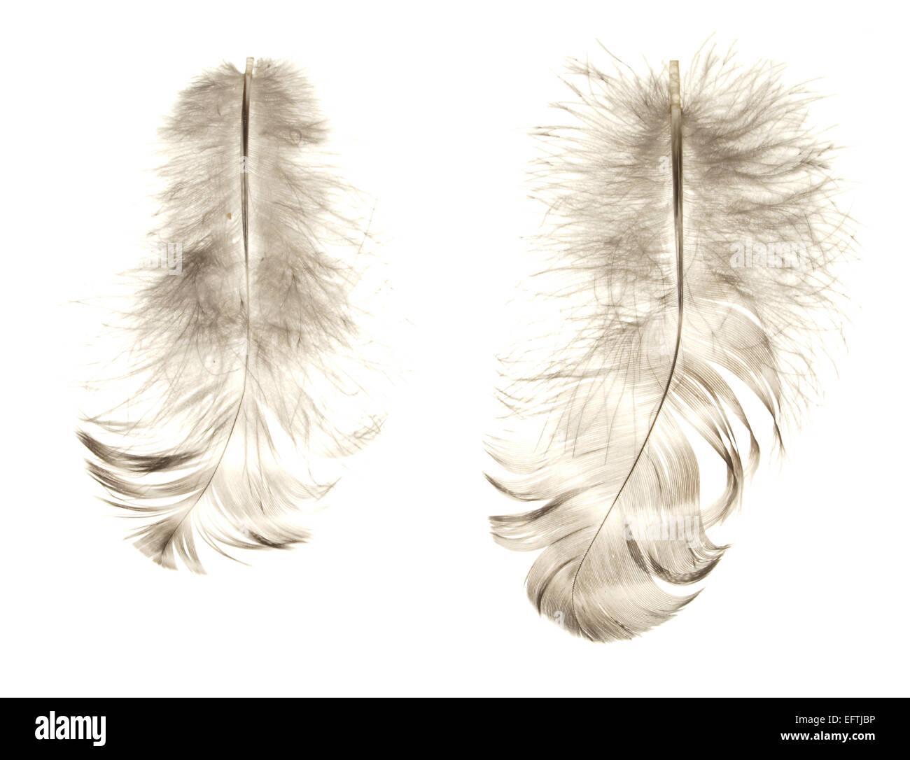 Deux plumes d'oiseaux isolé sur fond blanc. Photo Stock