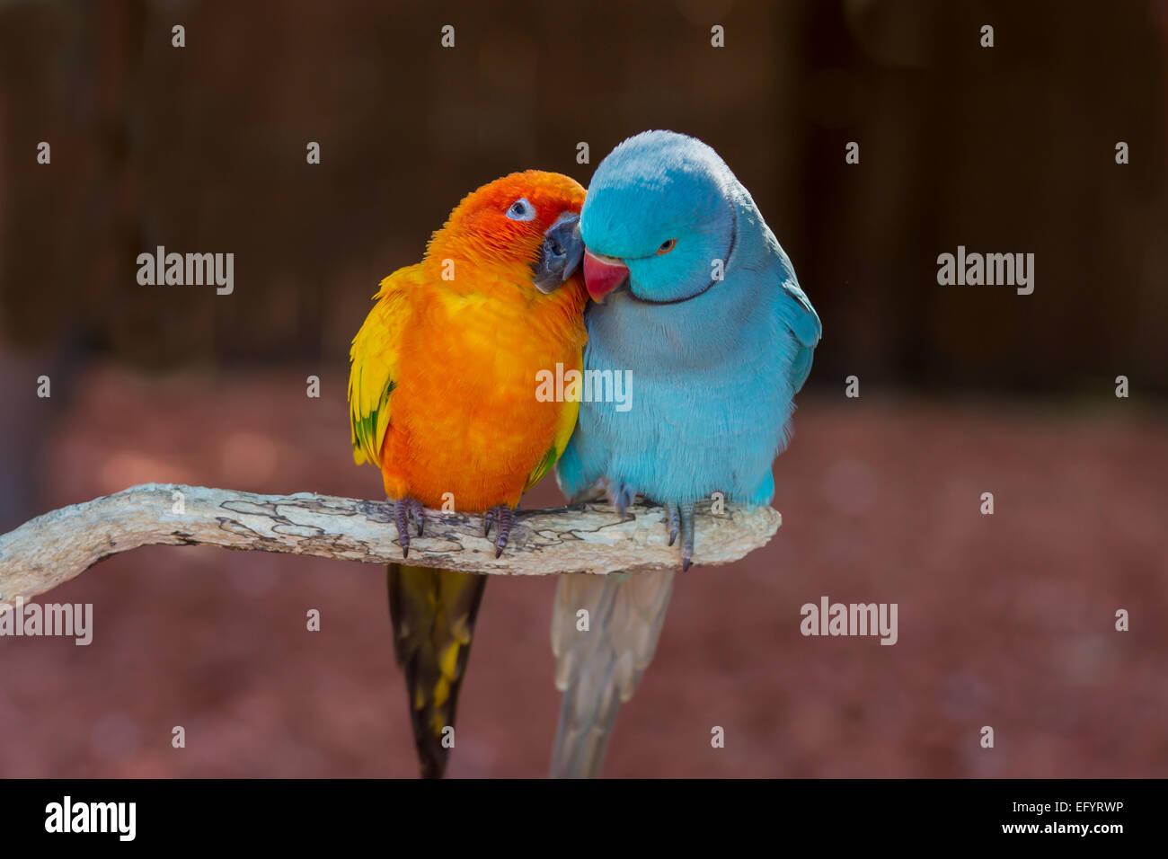 Paire de petits perroquets colorés Agapornis inséparables les uns des autres de toilettage Photo Stock