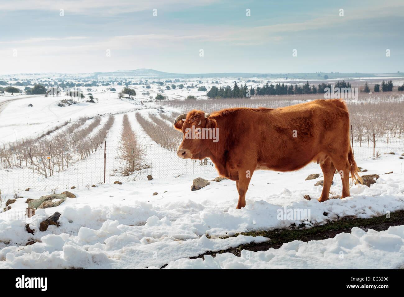 Vaches dans Snowscape. Photographié dans les hauteurs du Golan, Israël Photo Stock
