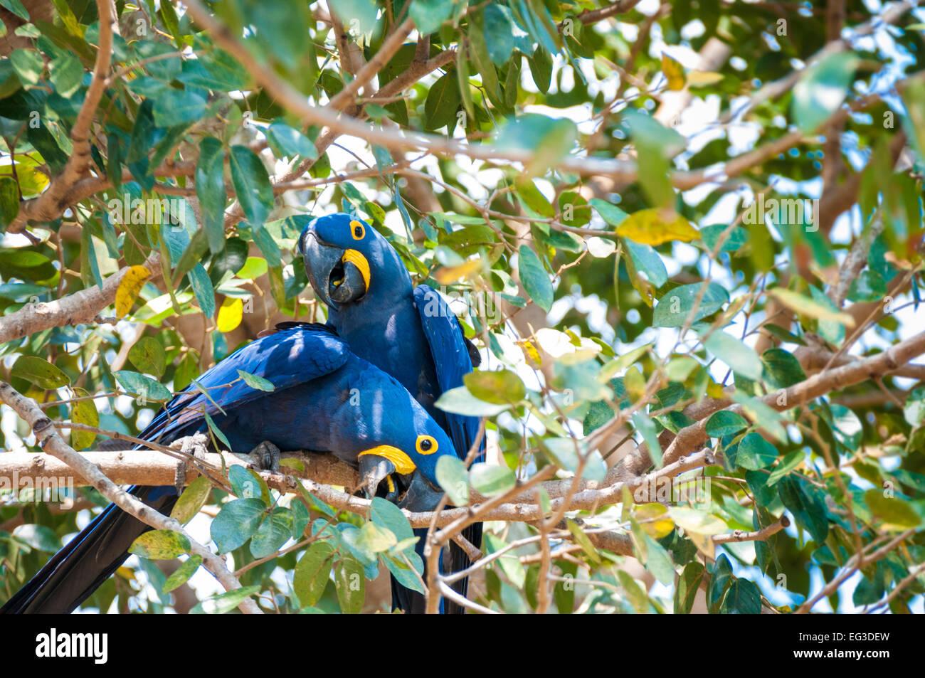 Une paire d'Anodorhynchus hyacinthinus Hyacinth Macaws,, perché dans un arbre, Pantanal, Mato Grosso, Brésil, Photo Stock