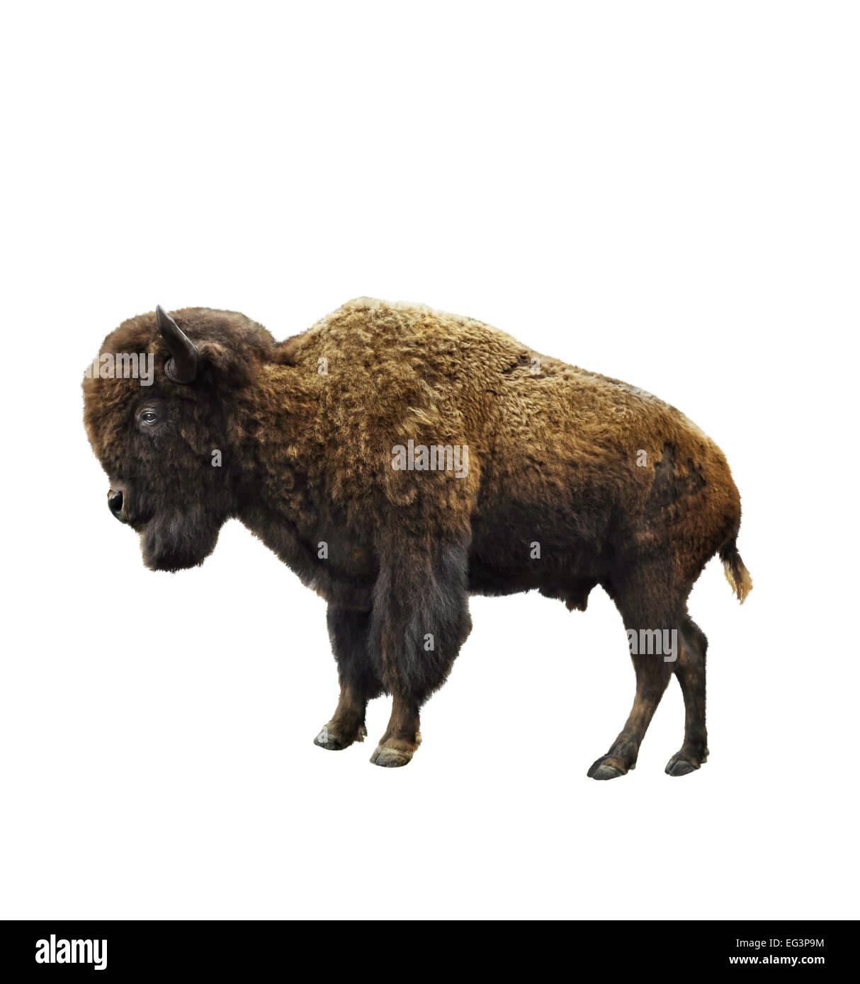 Bison américain isolé sur fond blanc Banque D'Images