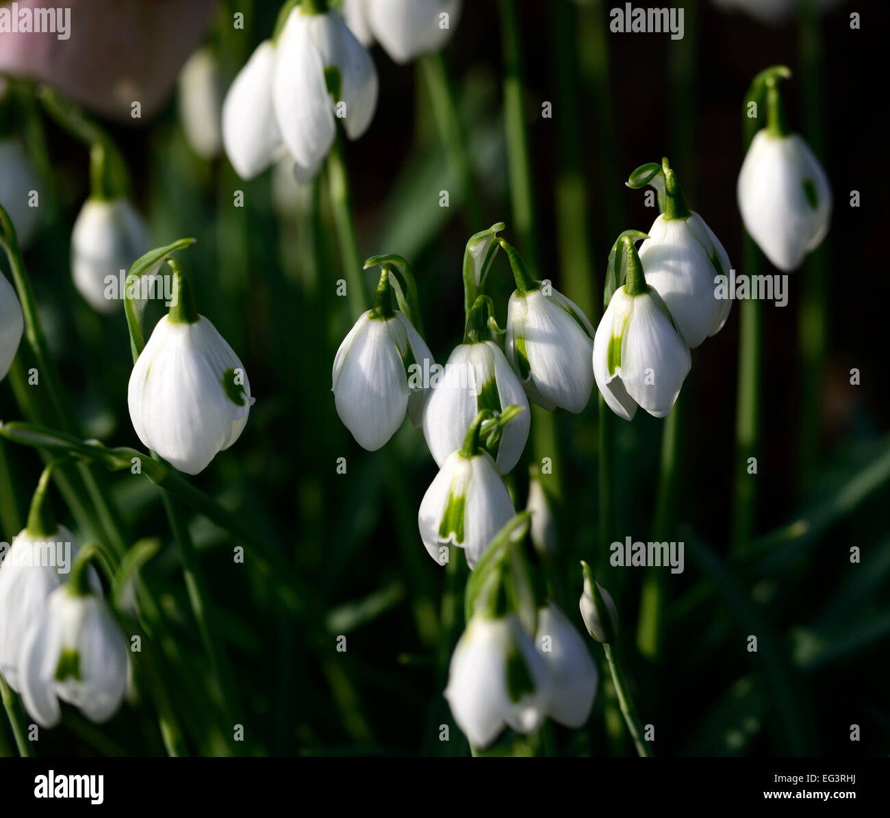 Galanthus Ophelia double Greatorex PERCE-NEIGE Ampoule