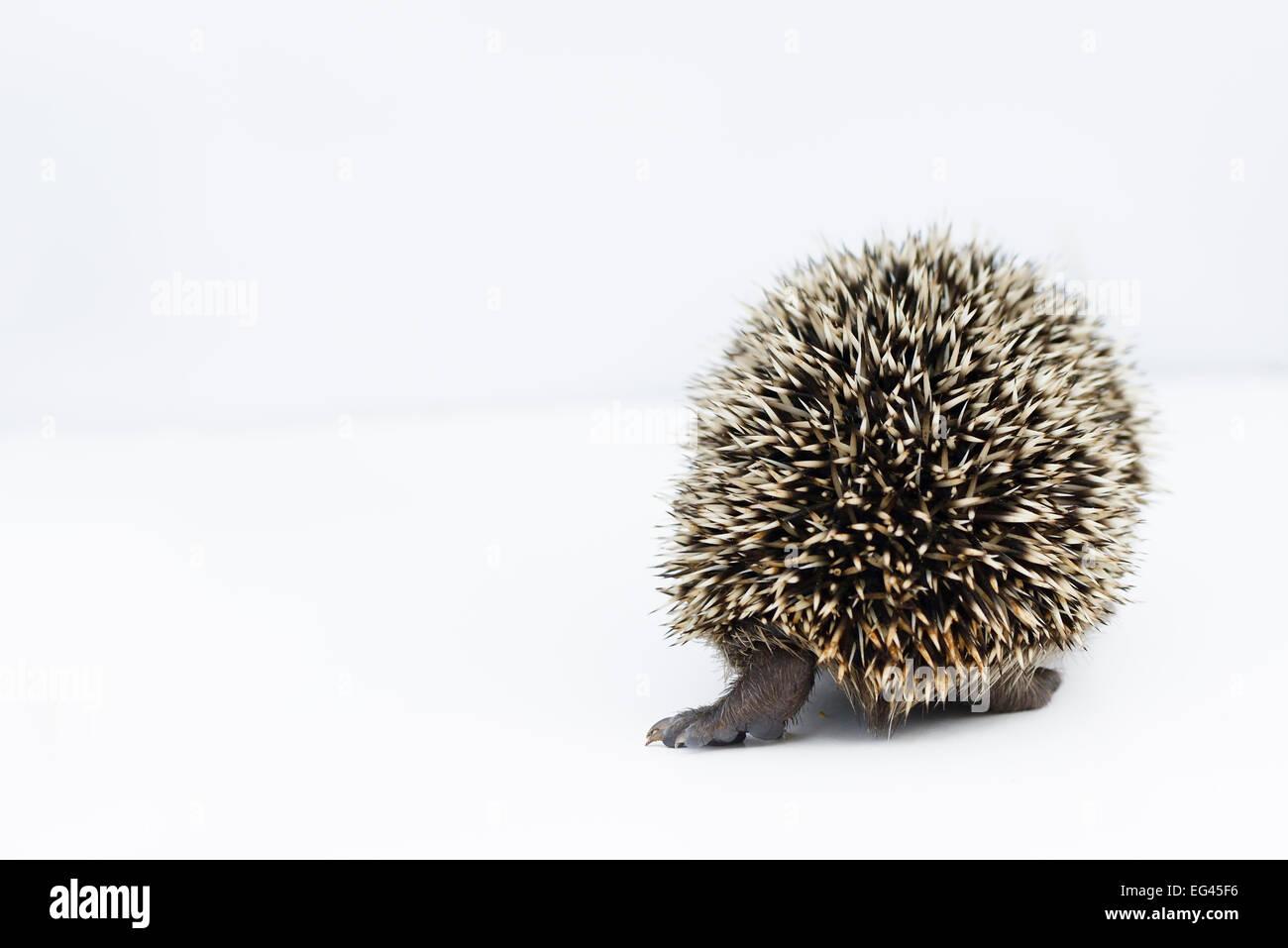 Hérisson (Erinaceus europaeus) Vue arrière, jeune orphelin au centre de sauvetage prisonnier Photo Stock