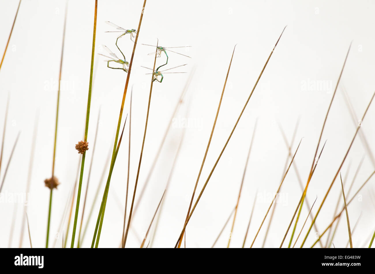 Deux paires de petits spreadwings (Lestes virens) dépôt des oeufs dans le soft rush dans Hondeven fen Photo Stock