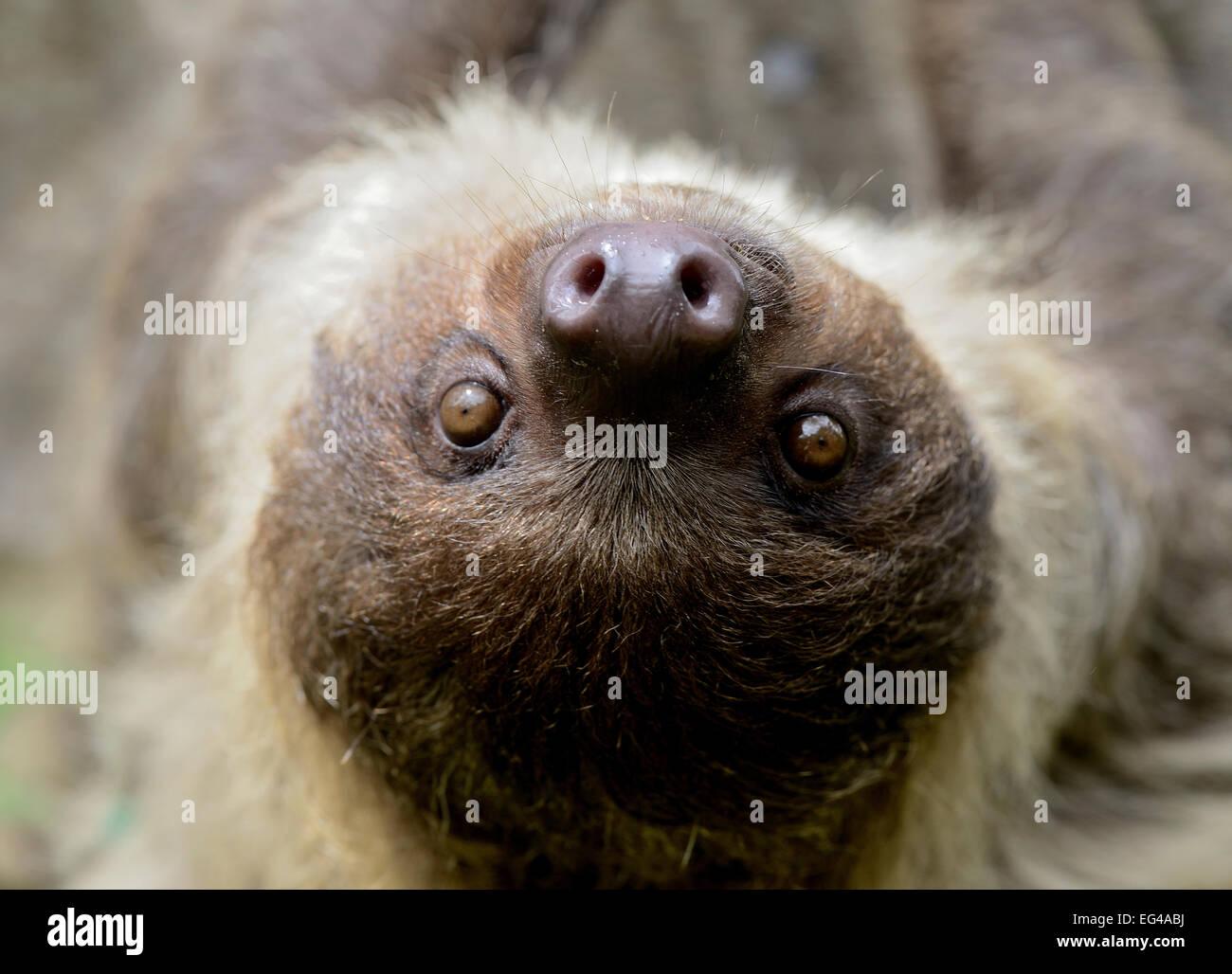 Unau / deux-toed sloth (Choloepus didactylus) portrait Guyane Banque D'Images