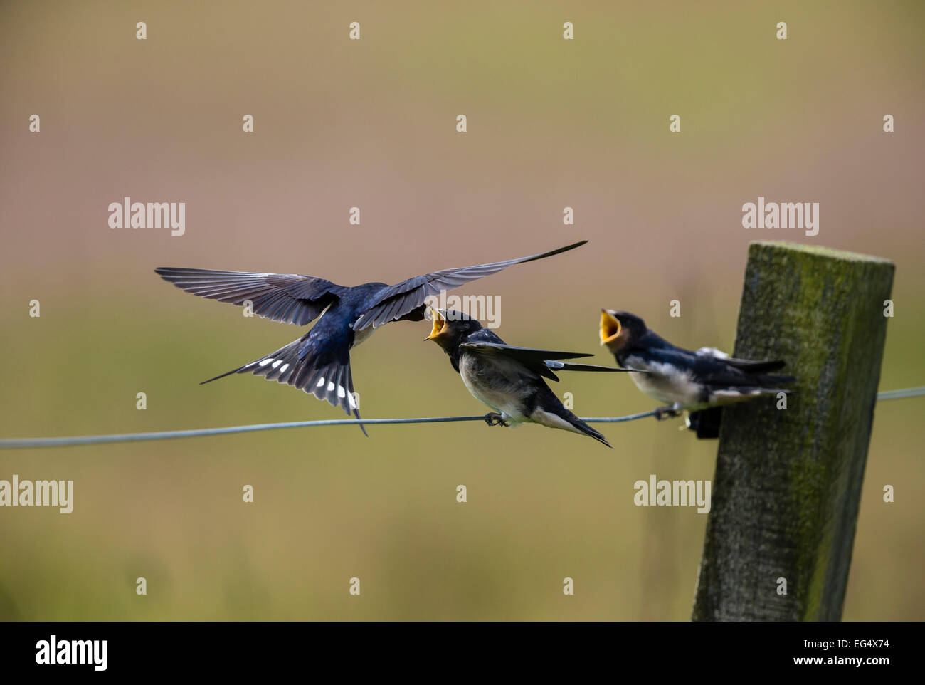 Swallow (Hirundo rustica) les poussins d'alimentation ; l'Orkney Ecosse UK Photo Stock