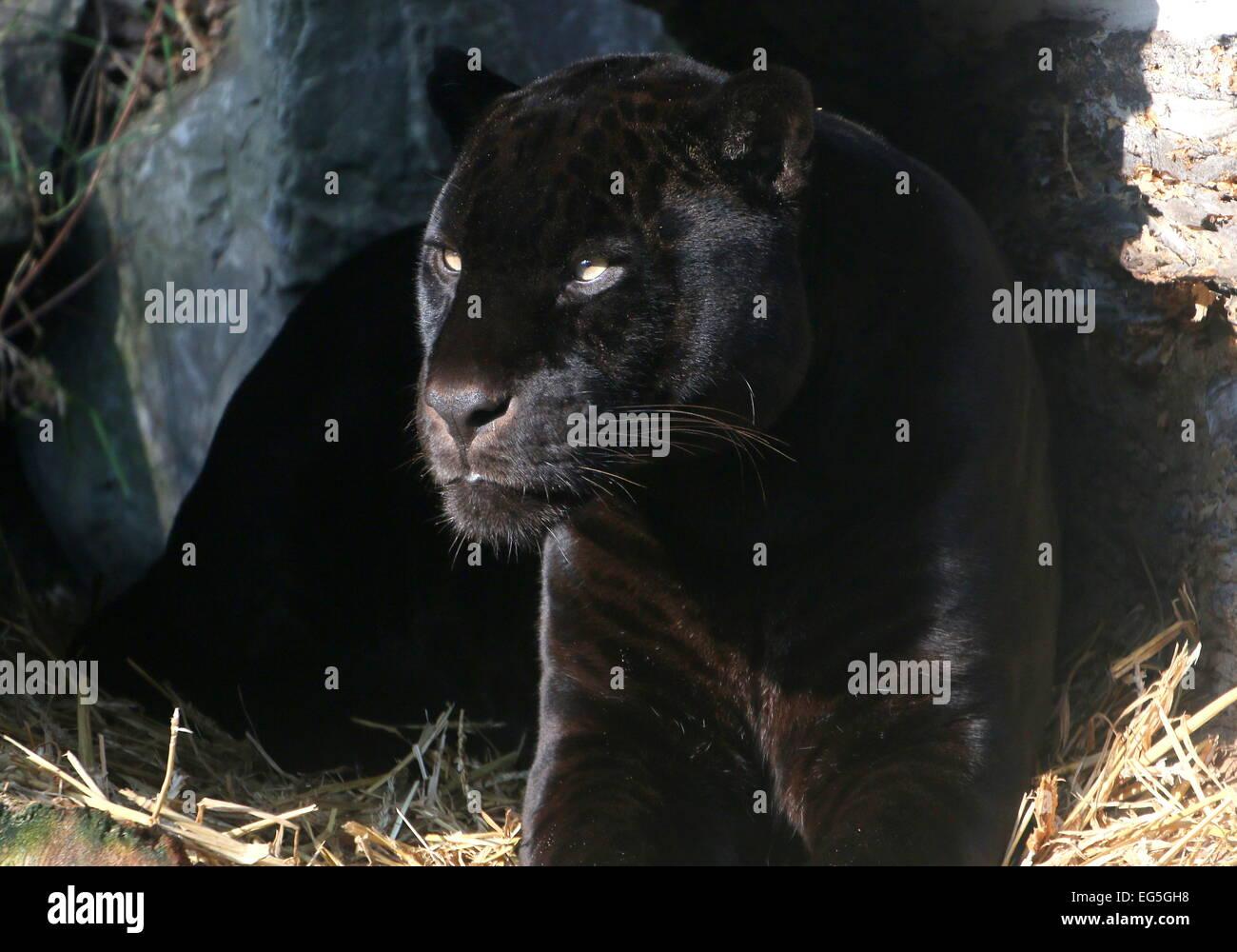 Melanistic Jaguar noir d'Amérique du Sud (Panthera onca), gros plan de la tête et le haut du corps Banque D'Images