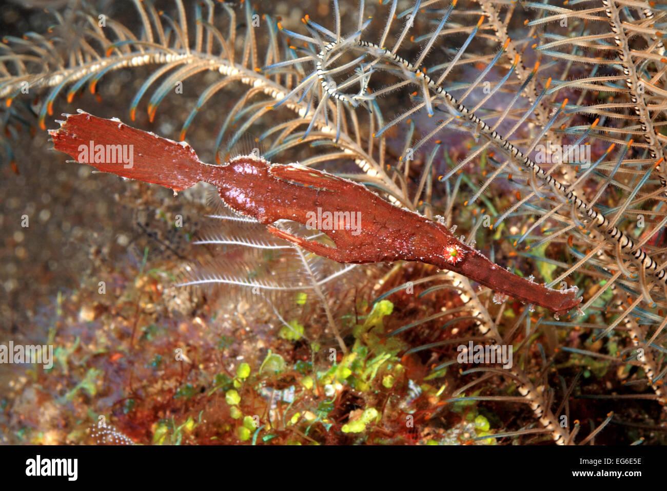 Syngnathe fantôme mince, Solenostomus sp. Ce peut être une variante de syngnathes de la robuste syngnathe Photo Stock