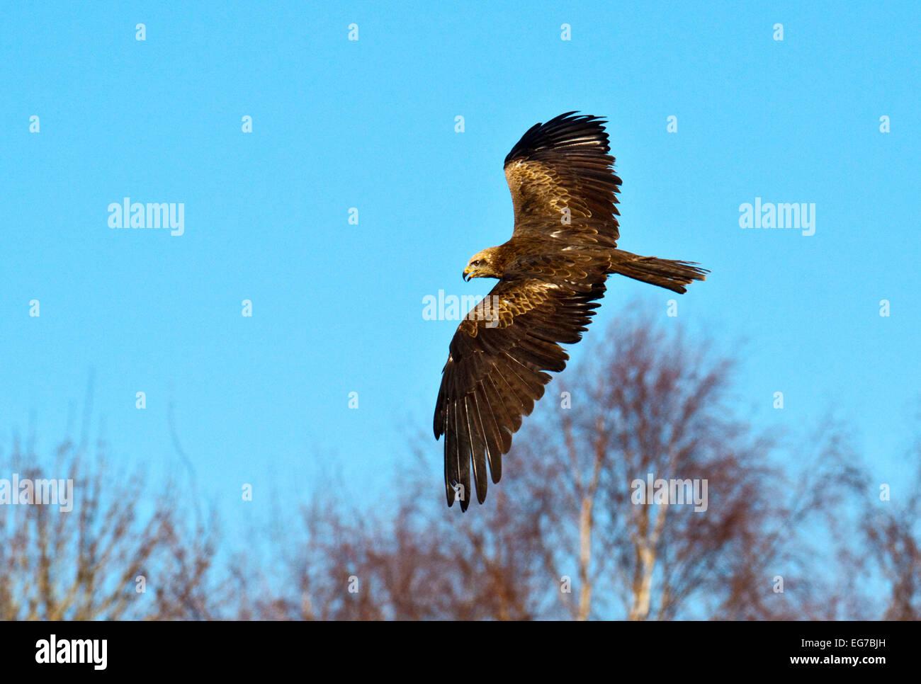 Milan noir (Milvus migrans) en vol Banque D'Images