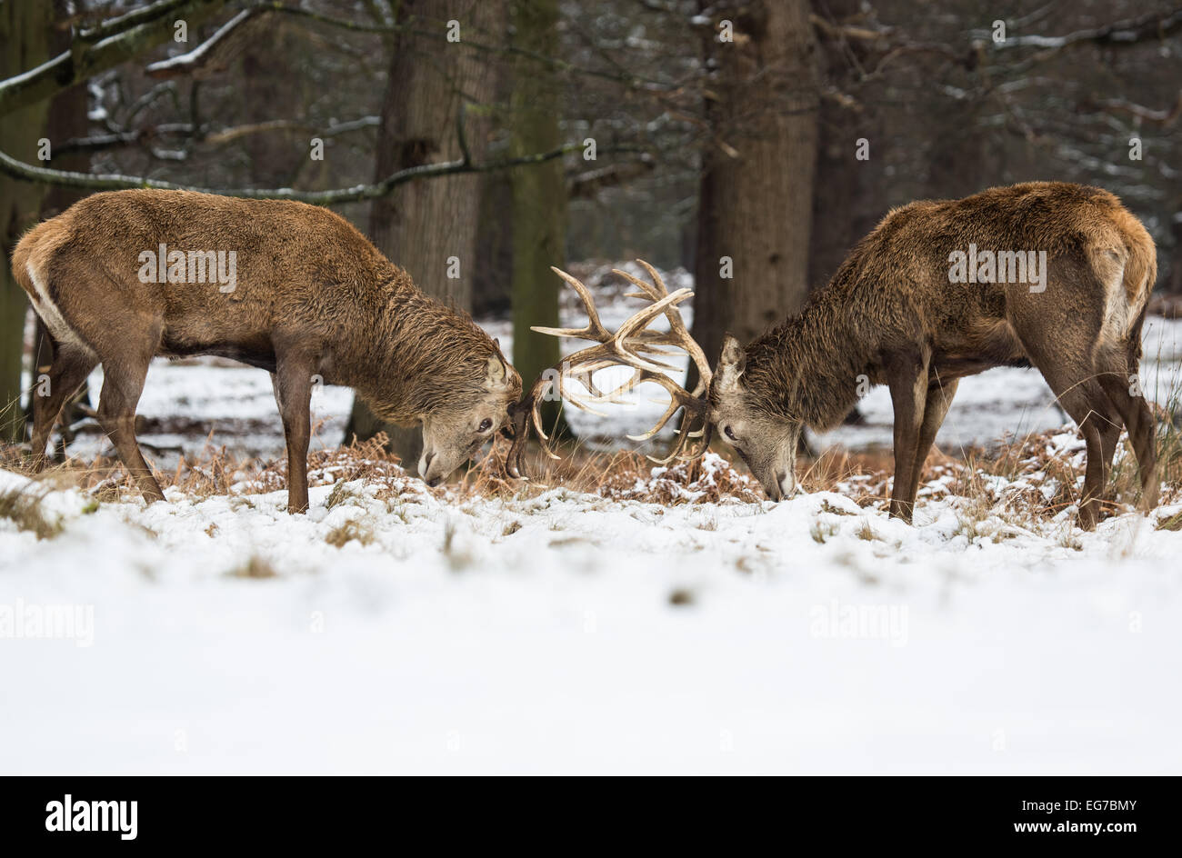 Red Deer stags affrontent les bois dans la neige. Richmond Park Londres Photo Stock