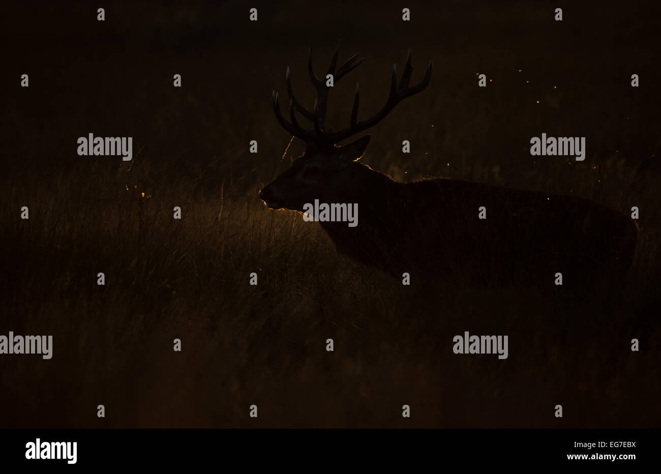 Red Deer stag photographié dans Richmond Park Photo Stock