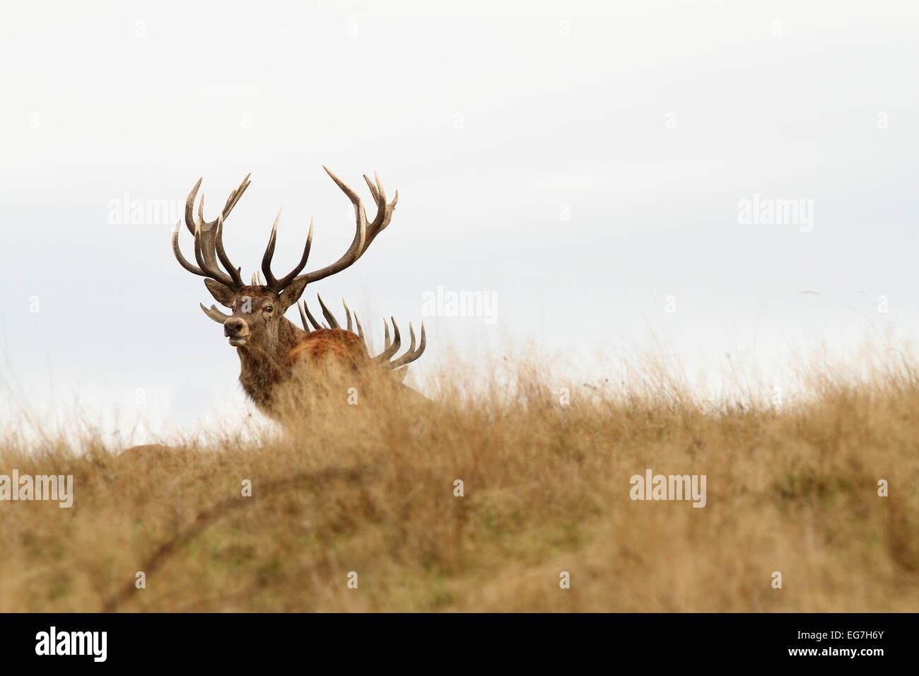 Belle red deer stag looking at camera ( Cervus elaphus ) Banque D'Images